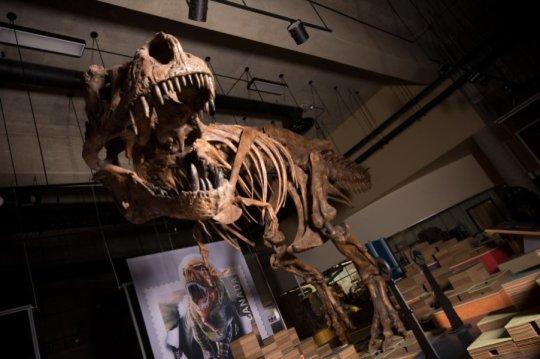 самый большой скелет Тиранозавра
