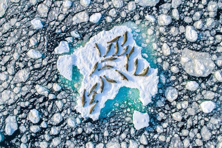 фотография тюленей на льдине