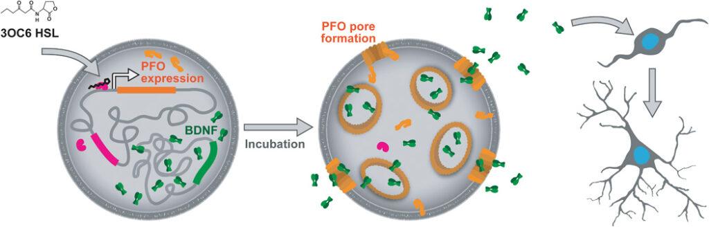 Схема искуссвтенной клетки и ее взаимодействия с нейральными стволовыми клетками мыши. Белок PFO формирует поры, через которые выходит фактор BNDF, который провоцирует развитие стволовых клеток в нейроны