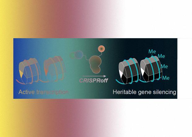 CRISPR-инструмент отредактировал геном без разрывов ДНК
